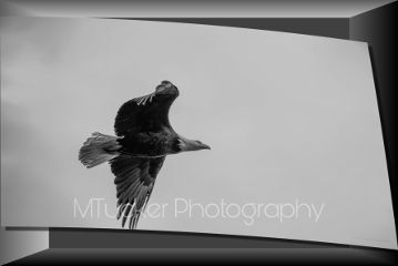 blackandwhite photography eagle baldeagle flight