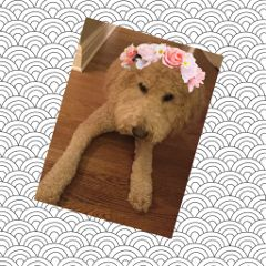 petflowercrowns freetoedit petstickers flowercrown