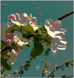 blossom cherryflower @csefi spring beautifull