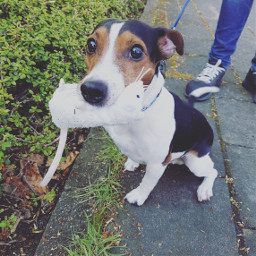 FreeToEdit dog hund jackrussell outside