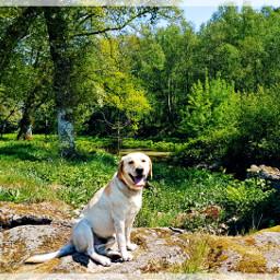 freetoedit teo labrador labradorretriever dogs