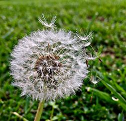 photography nature dandelion wishes
