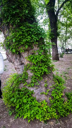 armenian armenianbeauty green tree