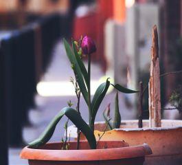 tulips flower macro spring freetoedit