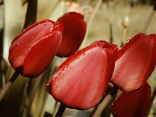 retroeffect tulips red waterdrops flowers