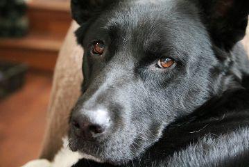 dog black eyes