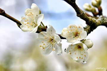 photography myphoto blossom drops nature