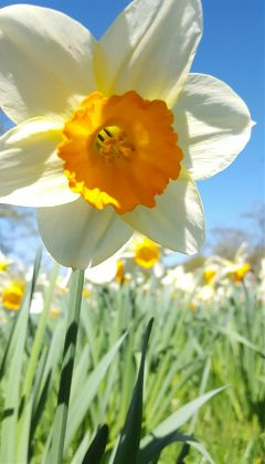 freetoedit noeditsorfilters springflowers spring daffodil