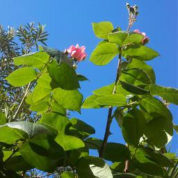 freetoedit photography rosespink