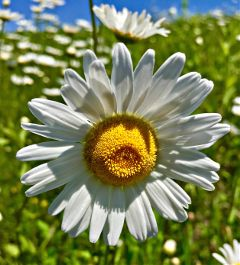 daisy flower flowerphotography spring nature