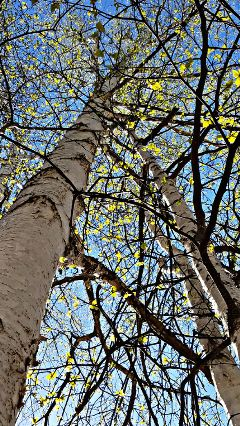 freetoedit trees pretty spring sky