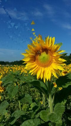 sunflower dispersion @csefi flower nature