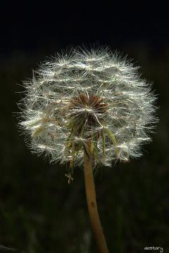 photography myphoto dandelion plant white