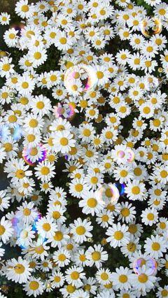 freetoedit bloom daisyflower amsterdam